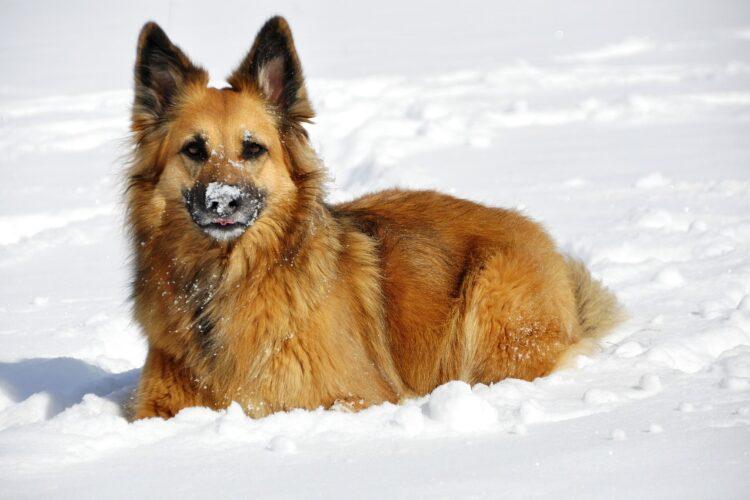 Vinter hund
